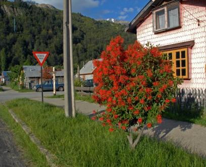 Ciudad de Futaleufú - Notro en flor