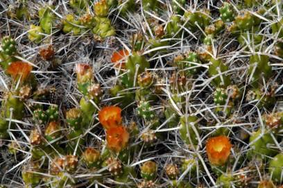 Cactus en el Cañadón de la Buitrera - Piedra Parada - Chubut